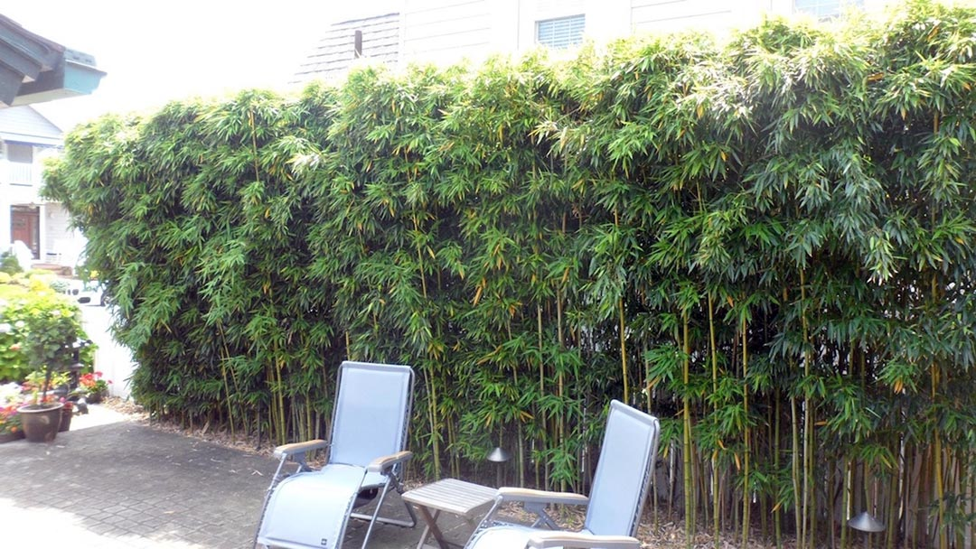bamboo formal hedge